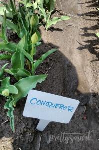 Conqueror Tulip Type