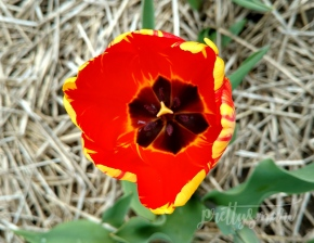 2017-April-AbbotsfordBLOOM-tulips--5